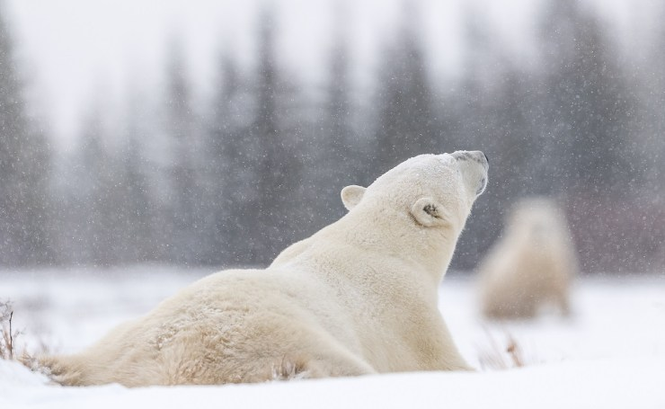 Polar bears under light snow at Nanuk Polar Bear Lodge.