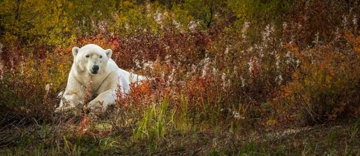 Polar bear in fall colours. Hudson Bay Odyssey. Steve Sinnock photo.
