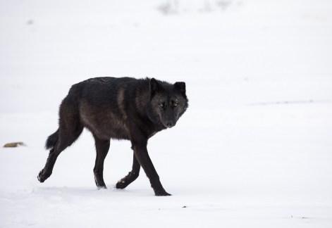 Hon. Mention - Wildlife - Trisha Lavin - Polar Bear Photo Safari at Nanuk