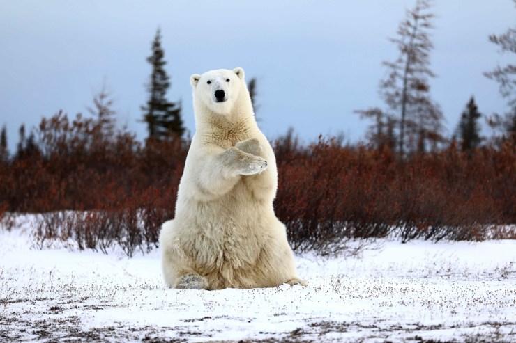 1st Place - Polar Bears - Teresa McDaniel - Great Ice Bear Adventure