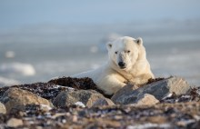 2nd Place - Polar Bears - Trisha Lavin - Polar Bear Photo Safari at Nanuk