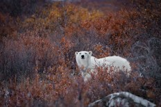3rd Place - Polar Bears - Fabienne Jansen - Polar Bear Photo Safari