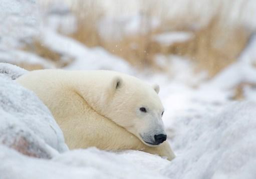 Peaceful polar bear relaxing in snow. Churchill Wild. Great Ice Bear Adventure. Dymond Lake Ecolodge.