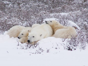 Polar bear family relaxing in snow at Dymond Lake Ecolodge. Churchill Wild. Graham Copping photo.
