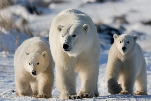Polar bear Mom and cubs. Great Ice Bear Adventure. Dymond Lake Ecolodge. Michael Poliza photo.