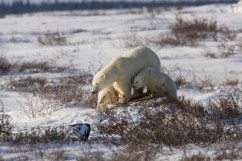 Polar bear family on the Great Ice Bear Adventure at Dymond Lake Ecolodge. Michael Poliza photo.