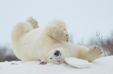 Polar bear stretch. Great Ice Bear Adventure. Dymond Lake Ecolodge. Robert Postma photo.