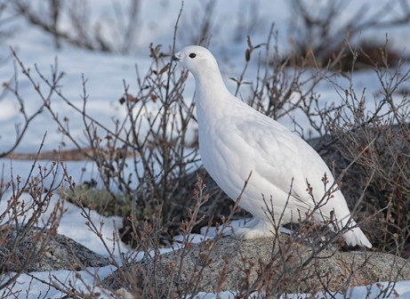 Ptarmigan. Dymond Lake Ecolodge. Great Ice Bear Adventure. Churchill Wild. Robert Postma photo.