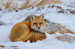 Red fox. Great Ice Bear Adventure.