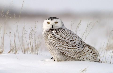Snowy Owl at Dymond Lake Ecolodge. Great Ice Bear Adventure. Dennis Fast photo.
