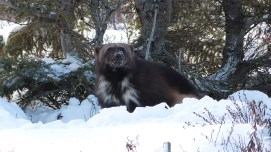 Boss wolverine. Great Ice Bear Adventure. Dymond Lake Ecolodge. Churchill Wild. Terry Elliot photo.