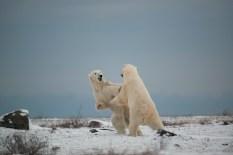 polar-bear-churchill-wild-seal-river-heritage-lodge-arturo-spajani