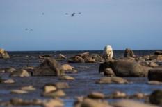polar-bear-churchill-wild-seal-river-heritage-lodge-henrik-egede-lassen