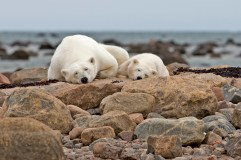 polar-bear-churchill-wild-seal-river-heritage-lodge-xie-jianguo