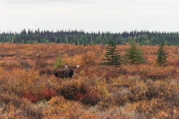 Moose-churchill-wild-nanuk-polar-bear-lodge-jad-davenport