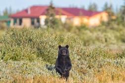 black-bear-churchill-wild-nanuk-polar-bear-lodge-robert-postma