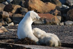 Polar bear mom nursing cubs at Seal River Heritage Lodge. Dirk Van-Dosselaer photo.