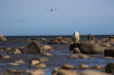 Polar bear walks across the rocks at Seal River Heritage Lodge. Henrik Egede-Lassen photo.