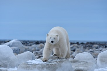 Polar bear staring at us at Seal River. Ian Johnson photo.