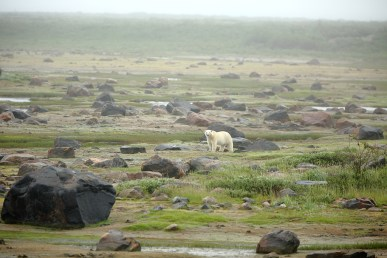 polar-bear-churchill-wild-seal-river-heritage-lodge-terry-elliot