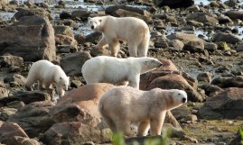 Multiple summer polar bears at Seal River Heritage Lodge.