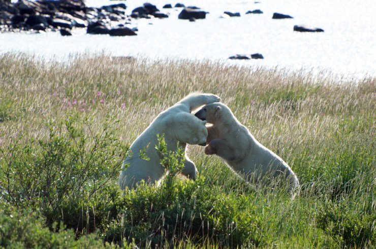 Polar bear buddies sparring at Seal River Heritage Lodge. Paul Scriver photo