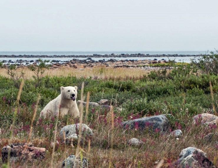 Polar bear cub in late season fireweed at Seal River Heritage Lodge. Paul Scriver photo.