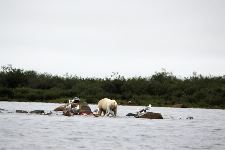 Polar bear with whale tail at Seal River. Photo by Churchill Wild guest Jack Moss.