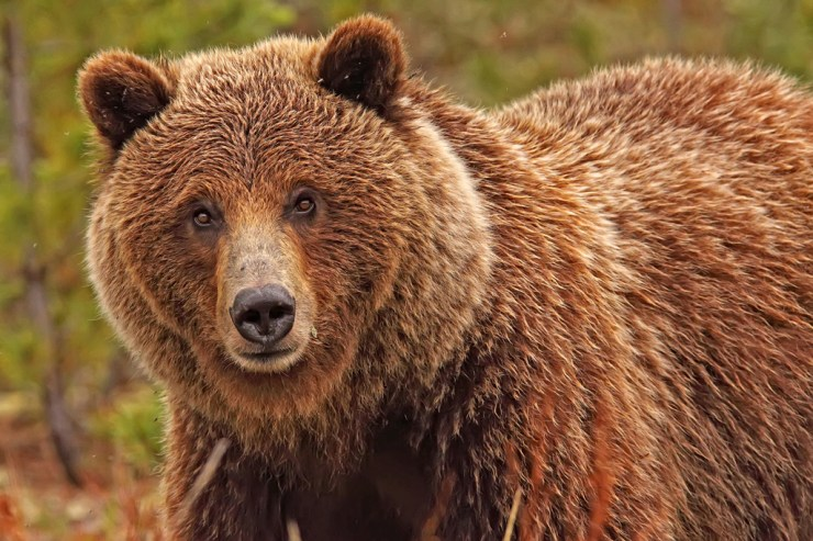 Robert Postma grizzly bear photo used in the new Canadian Bear Stamp Collection.