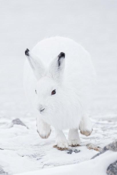 arctic-hare-seal-river-heritage-lodge-charles-glatzer