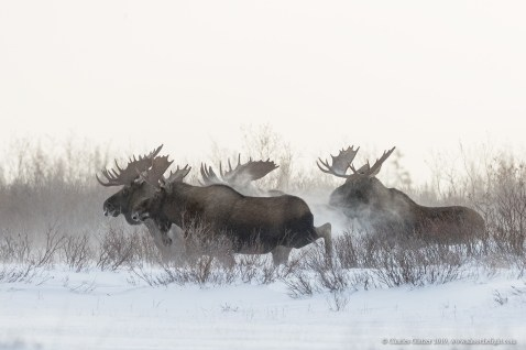 bull-moose-group-in-snow-nanuk-polar-bear-lodge-charles-glatzer
