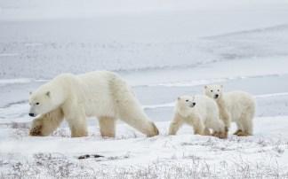 polarbearcubswithmomchurchillwildcharlesglatzer