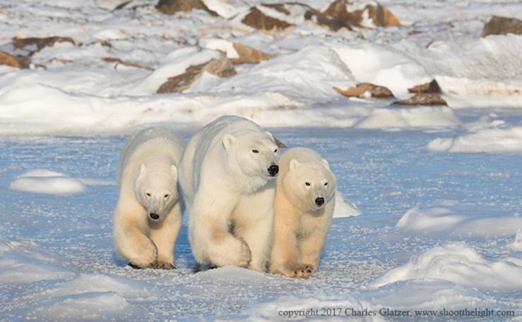Mom and cubs on the move at Seal River. Polar Bear Photo Safari. Charles Glatzer photo.