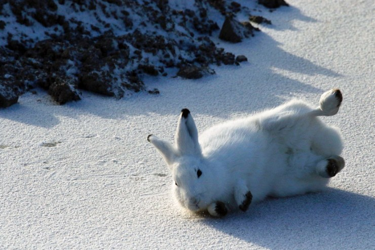 Ready. Set. Roll! Arctic hare photo courtesy of guest Sally Mitchell-Wolf.