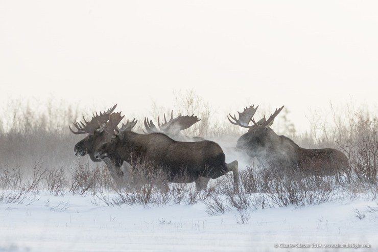 Without warning, five of the seven bull moose took off, and the powder was flying! Nanuk Polar Bear Lodge. Charles Glatzer photo.