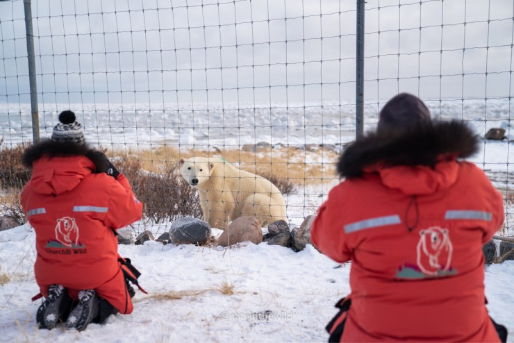 Polar bear outside the compound. Polar Bear Photo Safari. Seal River Heritage Lodge. Nate Luebbe photo.