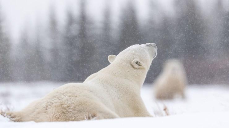 Polar bear enjoying light snowfall at Nanuk Polar Bear Lodge. George Turner photo.