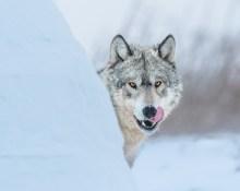 the-eyes-of-a-wolf-nanuk-polar-bear-lodge-jad-davenport - Copy