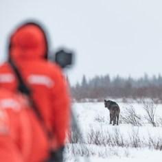 wolf-looks-back-Nanuk-Polar-Bear-Lodge-Jad-Davenport - Copy