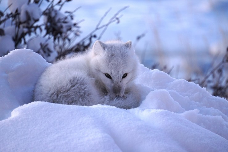 Arctic fox curls up for a nap at Seal River Heritage Lodge. Vanessa Desorcy photo.