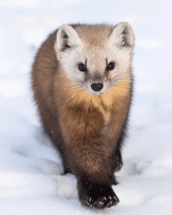 Pine marten. Polar Bear Photo Safari. Seal River Heritage Lodge. Artica Studios photo.