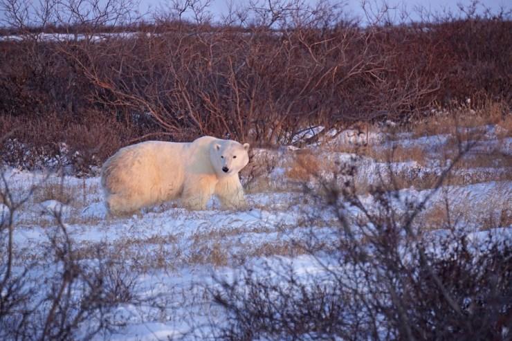Dawn polar bear at Seal River Heritage Lodge. Vanessa Desorcy photo.