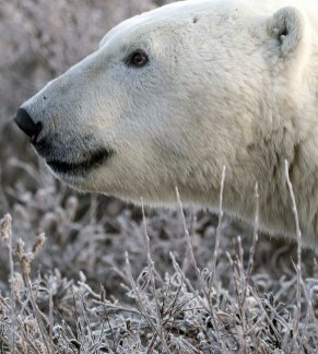 Polar bear close-up. Polar Bear Photo Safari. Nanuk Polar Bear Lodge. Marielena Smith photo. Epic7 Travel.