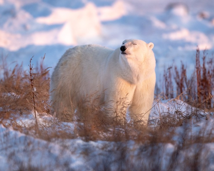"""Just breathe..."" Polar bear in soft sunlight at Seal River Heritage Lodge. George Turner photo."