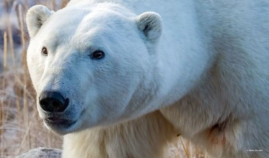 Polar bear focus. Polar Bear Photo Safari. Seal River Heritage Lodge. Rob Julien photo.