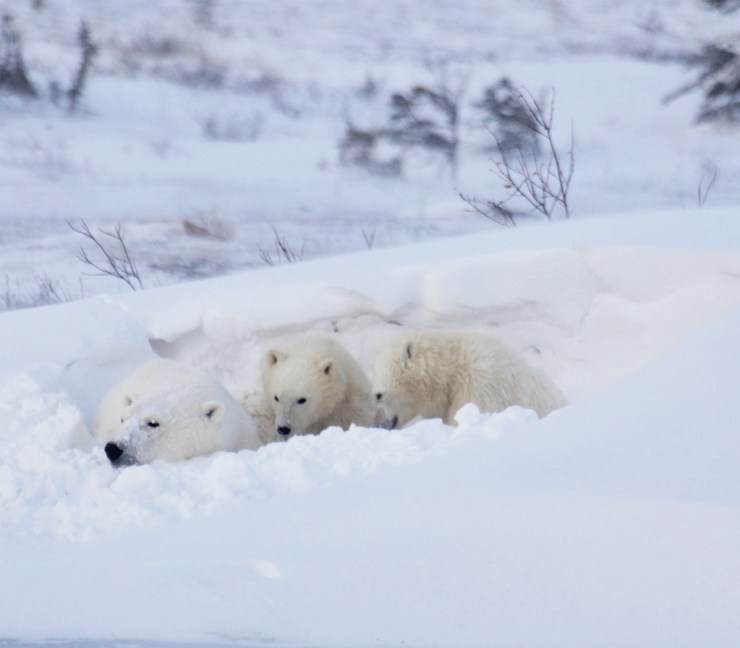 Polar bear family on the Great Ice Bear Adventure. Eduard Planting photo.