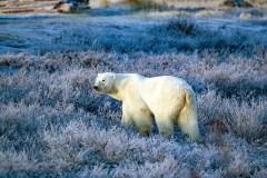 Blue bear beautiful. Fall Dual Lodge Safari. Churchill Wild. Rob Juilen photo.