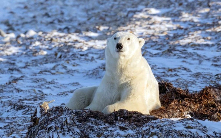 Thinking... Polar bear on bed of kelp. Polar Bear Photo Safari. Seal River Heritage Lodge. Charles Glatzer photo.