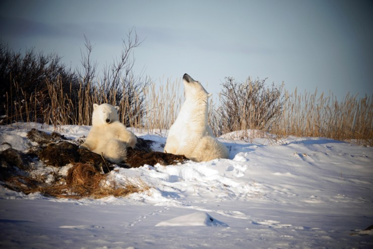 No buzzing around in Churchill for these two. Relaxing in their Seal River sauna. Bob Smith photo.