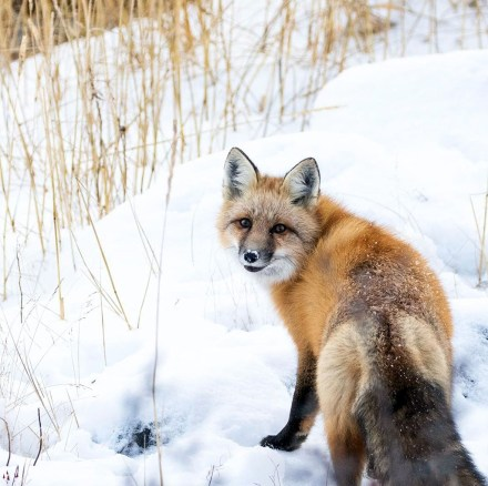 Red fox at Seal River Heritage Lodge. Chase Teron photo.